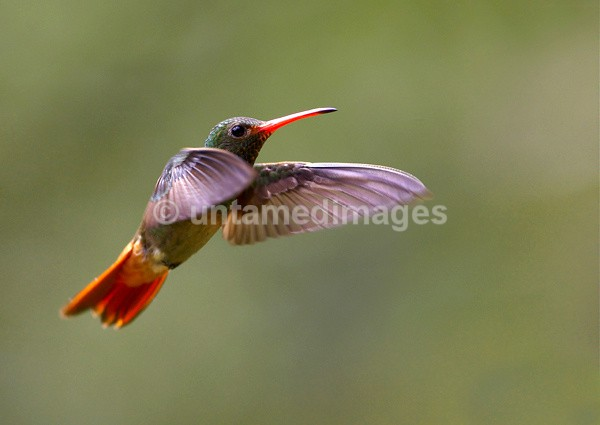 Rufous Tailed Hummer - Galapágos