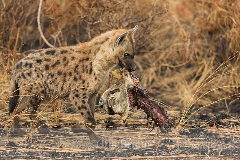 Lion Head - Hyena