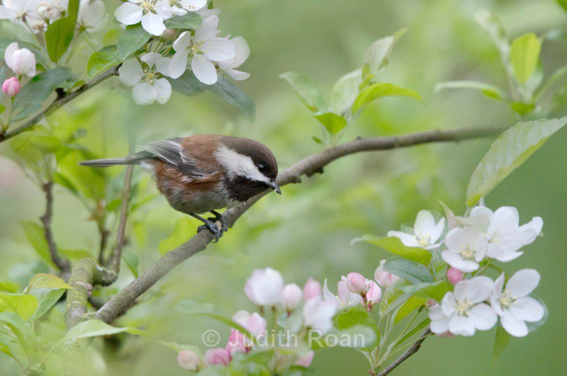 Chestnut-backed Chickadee - Backyard Birds of the Pacific Northwest