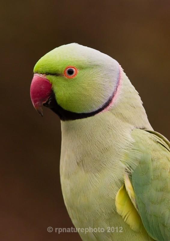 Ring Necked Parakeet - Psittacula krameri RPNP0122 - Birds