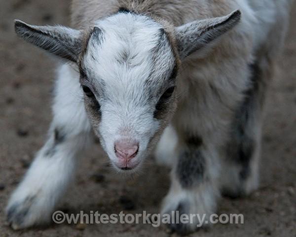 Goat - Wildlife and Animals