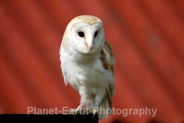 Barn Owl 1 - UK Wildlife