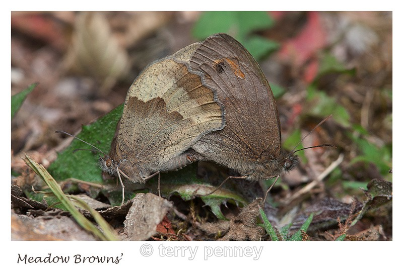 Meadow Brown - Maniola jurtina - Insects & Spiders