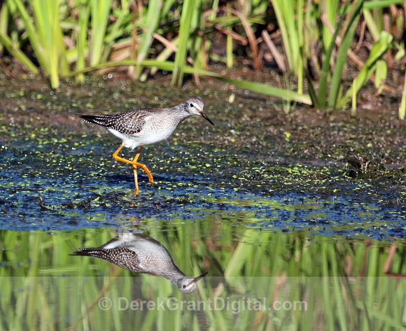 Lesser Yellowlegs - Birds of Atlantic Canada