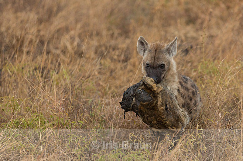 Lion Head - Hyena