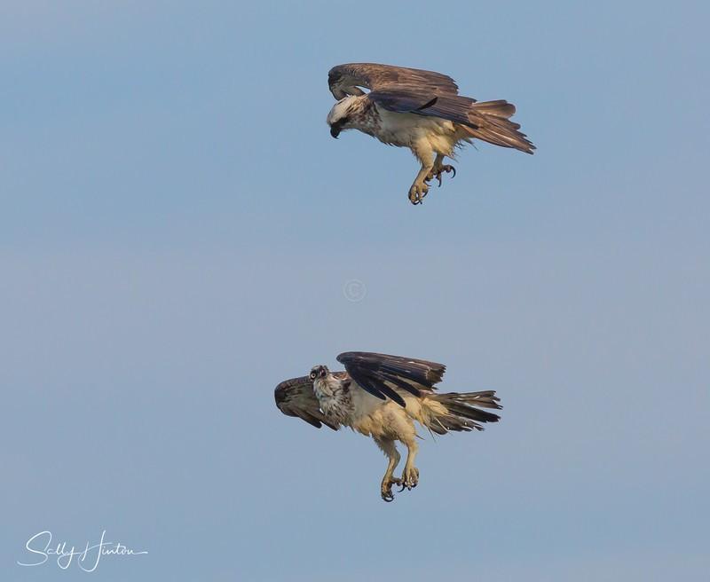 Osprey Pair in Flight 4 - Osprey (For Sale)