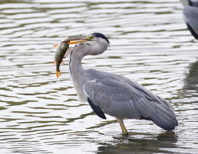 Skewered - Herons, Egrets & Cranes