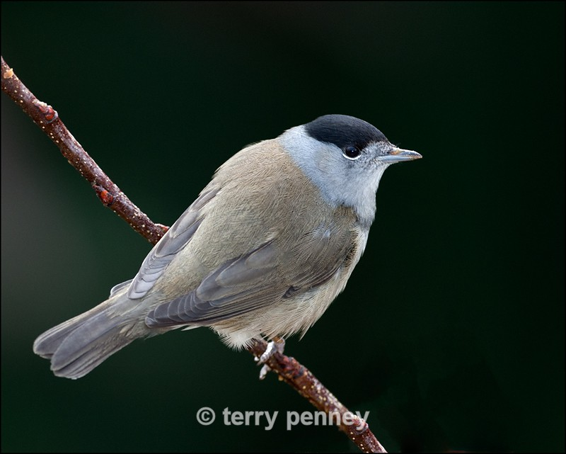 Blackcap - male (Sylvia atricapilla) - Birds