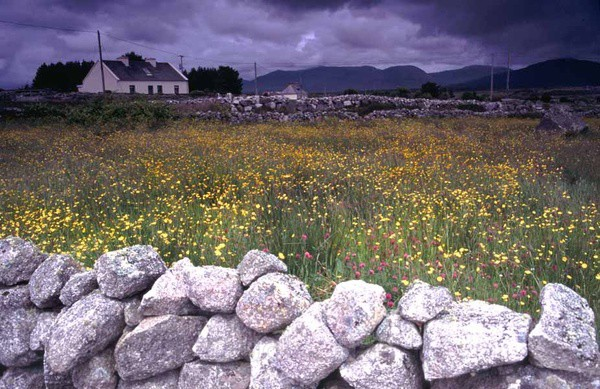 field of buttercups,connemara,co. galway,ireland