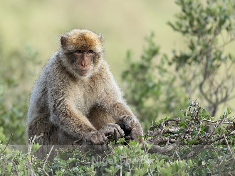 Barbary Macaque sitting, Rock of Gibraltar - Monkey
