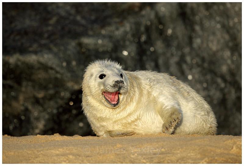 Grey Seal Pup Yawning - Coast and Marine