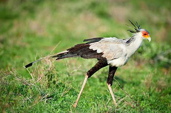 Secretary Bird, Shaba, Kenya