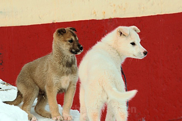 Husky puppies 5446 - Winter in the daylight