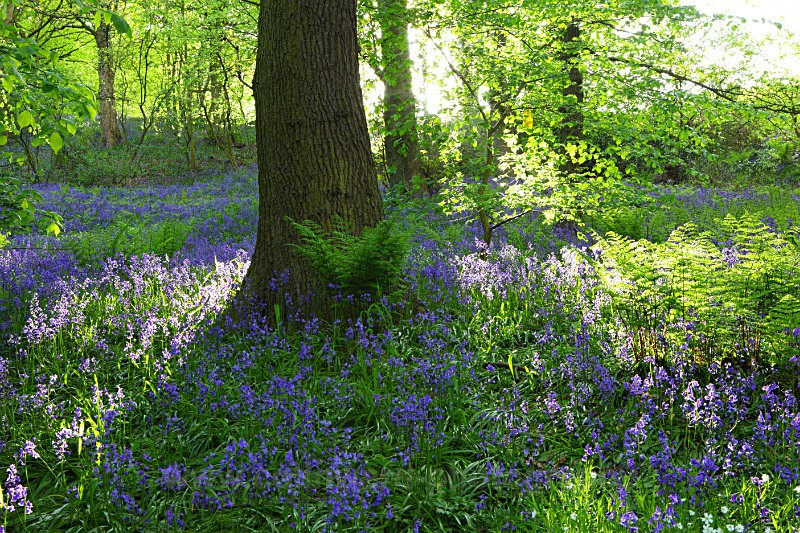 Bluebells in Houghall wood, Durham City   ref 5232 - County Durham
