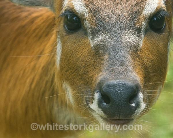 Puku - Wildlife and Animals