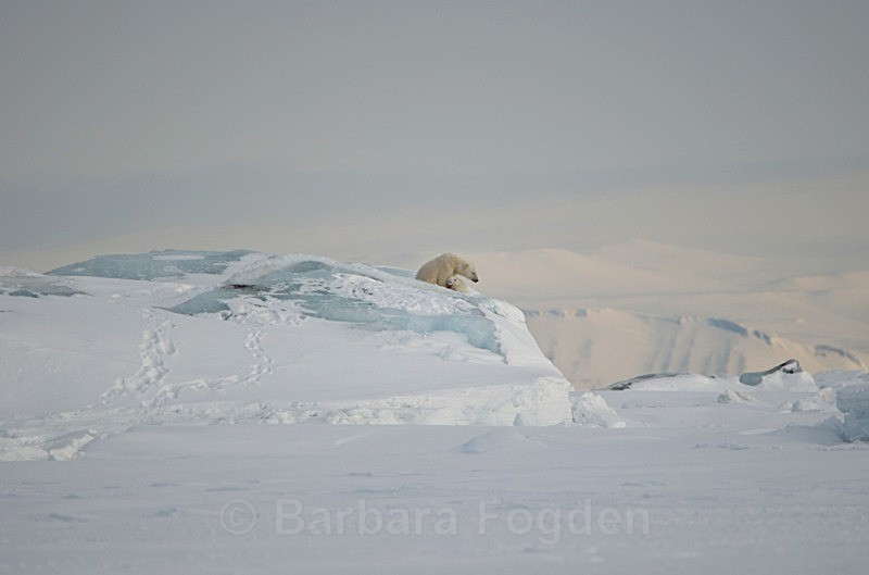 Polarbear 0059 - Wildlife