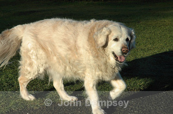 Nearly Fourteen Now - Walking the Dog