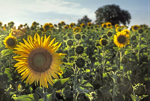 sunflowers2 - Provence