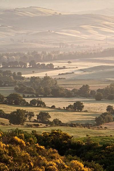 gorse bush - Tuscany