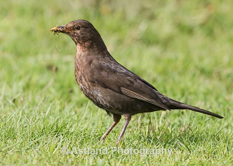 Astland Photography, Bird and Wildlife Images, Susan and Peter Wilson, U.K