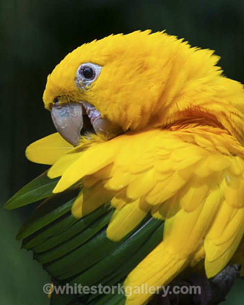 Yellow and Green Parrot - Wildlife and Animals