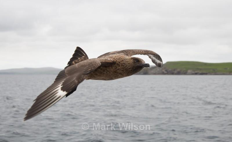 Great Skua - Seabirds