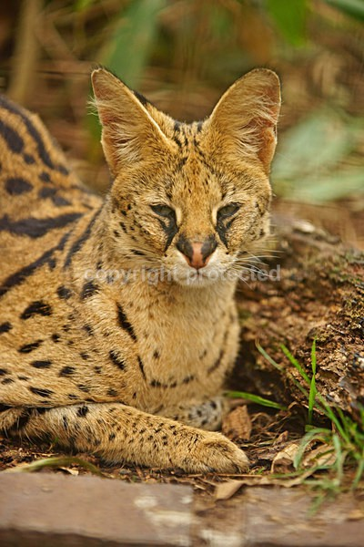 Serval Cat - Cat Survival Trust - Big and Small Wild Cats