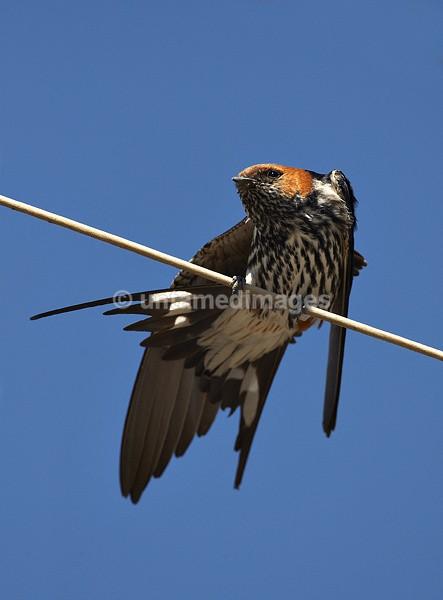 Greater Striped Swallow - Botswana