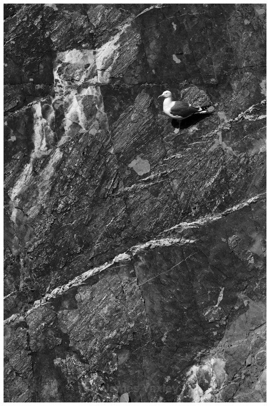 Herring Gull Chess Board - Nature in Black & White