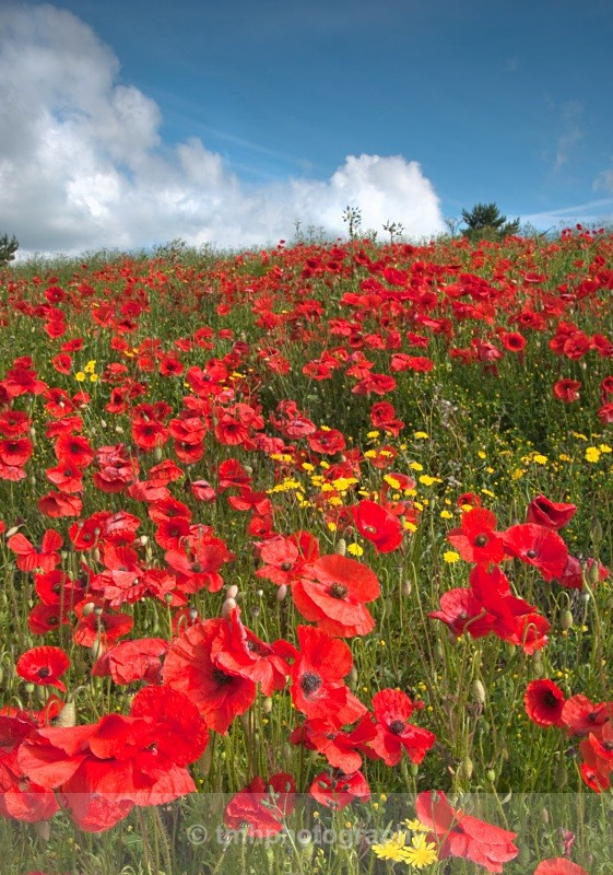 Poppyies and Clouds. - Creative Scenery