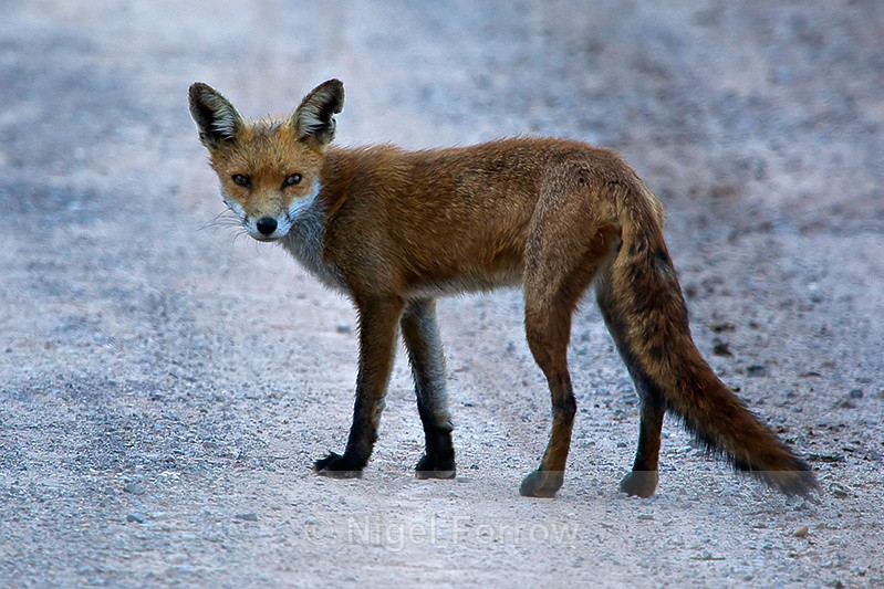 Red Fox on the road at Middlebere - Red Fox