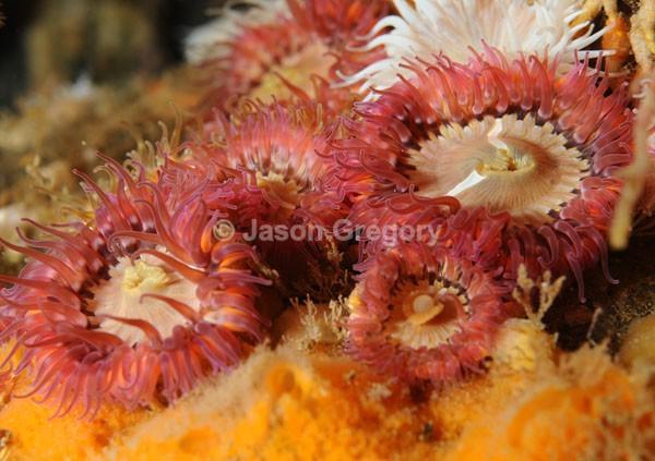 Sagartia elegans rosea - Anemones (Anthozoa)