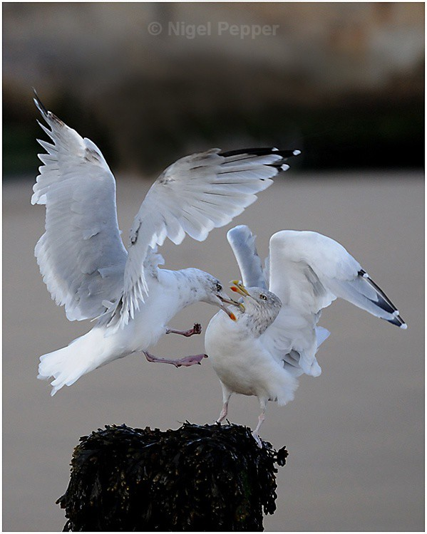 Territorial Squabble - Leggy the Herring Gull