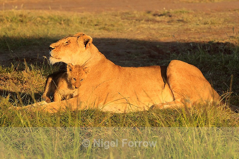 Lioness and cub in early morning sun - Lion