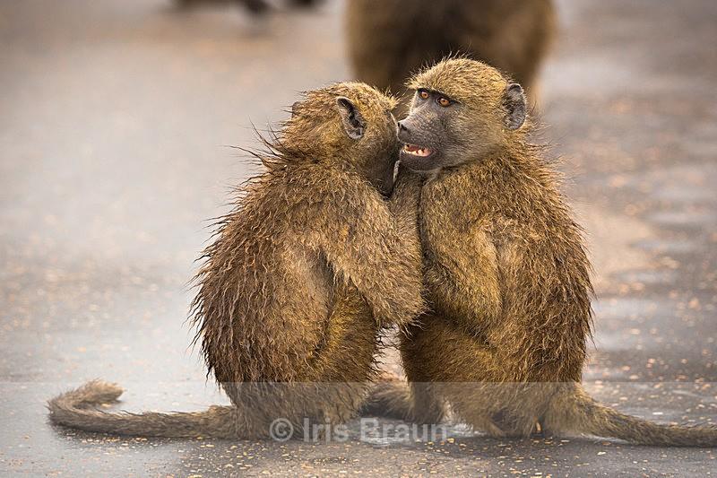 Chatting - Baboon