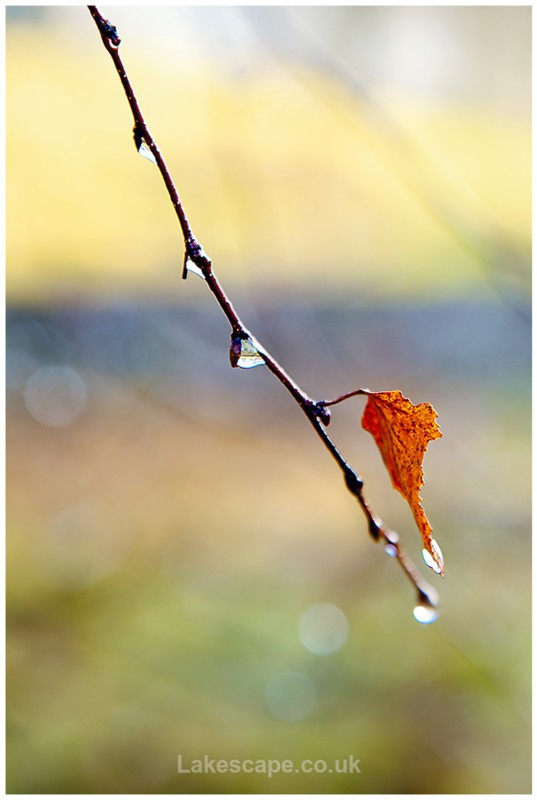 Last Leaf of Autumn 4803 - Trees