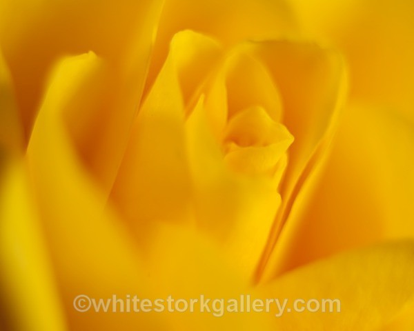 Yellow Rose - Up Close !
