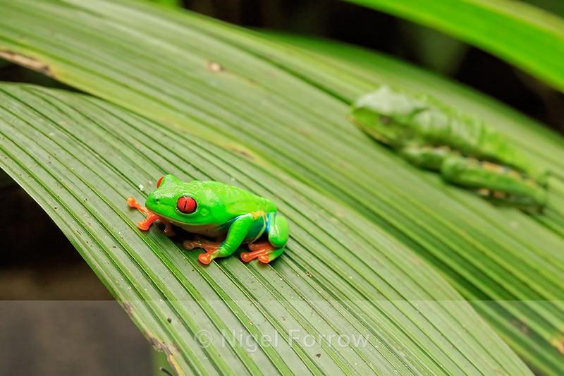 Red-eyed Tree Frogs, La Paz Gardens, Costa Rica - REPTILES & AMPHIBIANS