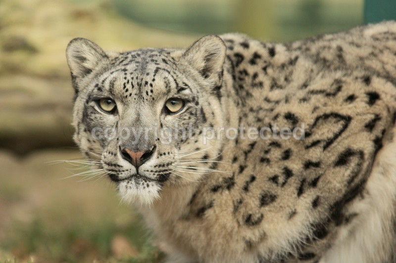 Mizi, the female snow leopard at WHF