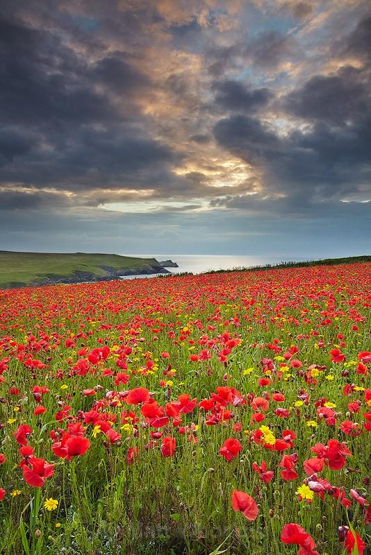 Poppies at Polly Joke - Cornwall - North Coast 2
