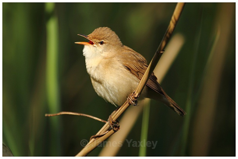Reed Warbler Singing - The British Wildlife Photography Awards 2009 to 2014