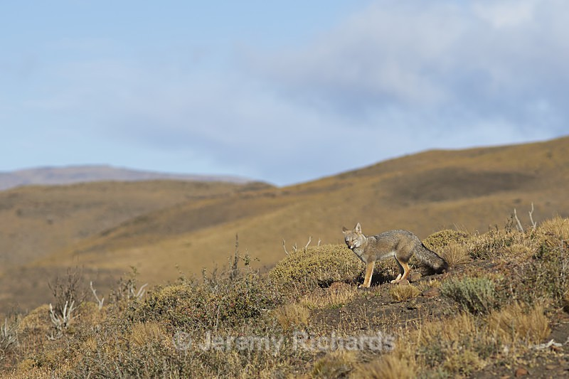 South American Grey Fox - Wildlife of Chile