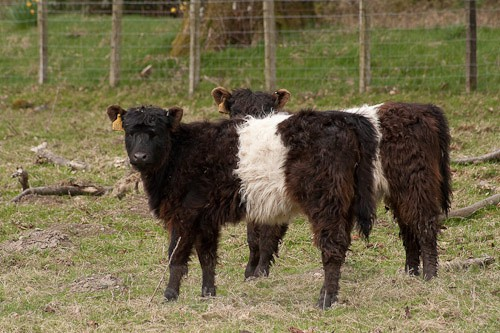 8 - Belted Galloway Cattle