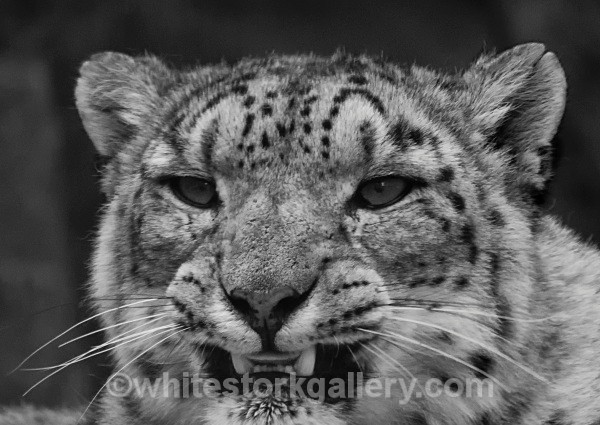 Snow Leopard - Wildlife and Animals