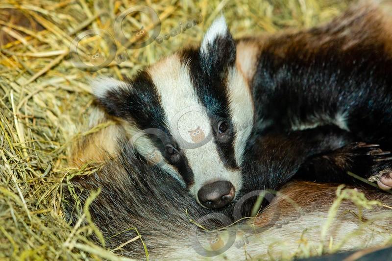 badger Meles meles-9134 - UK Wildlife