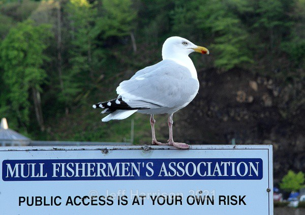 Mull Fisherman! (image Gull 01) - Waders, Gulls & Seabirds