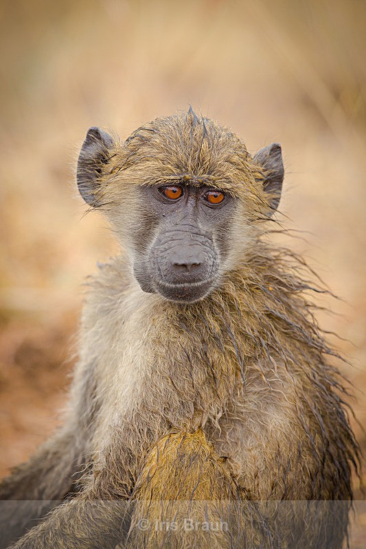 Baby Troublemaker - Baboon
