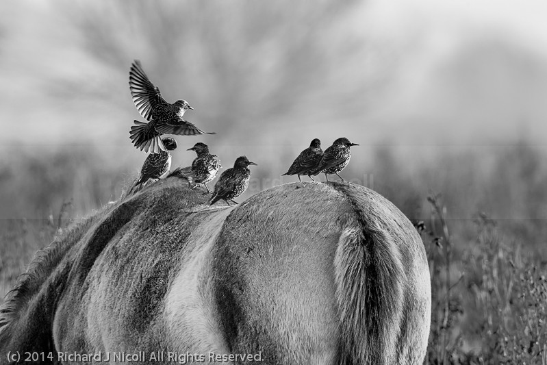 Starlings (Sturnus vulgaris) on horseback - Starling (Sturnus vulgaris)