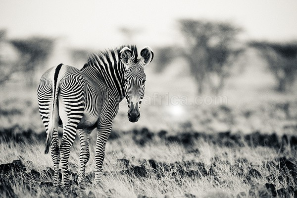 Grevy's Zebra, Shaba, Kenya