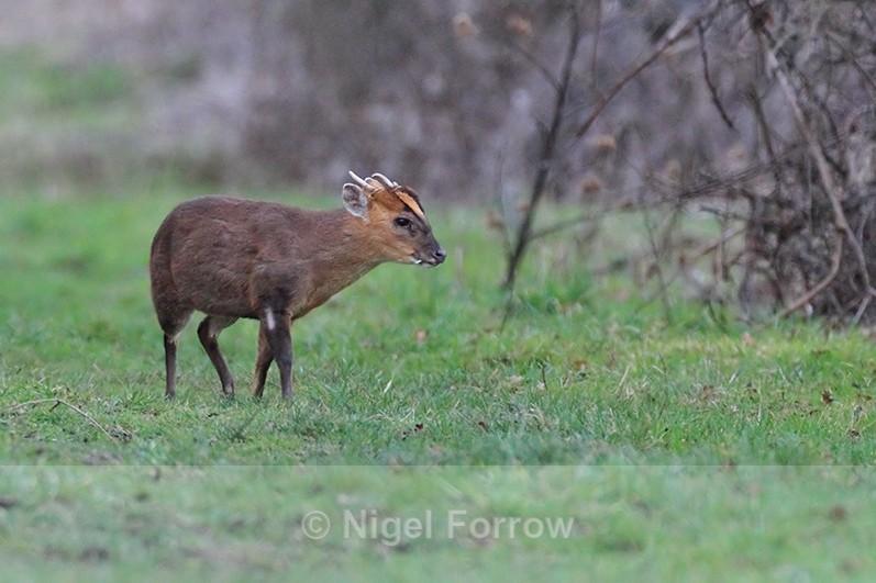 Muntjac Deer on the Roman Road at Otmoor - Deer